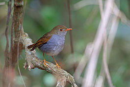 Orange-billed Nightingale-Thrush, La Concordia, Mexico (17001712972).jpg