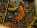 Orange headed thrush IMG 0796 copy.jpg