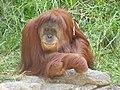 Orangutan - Flickr - ltshears.jpg
