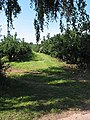 Orchard near Anthony's Cross - geograph.org.uk - 533900.jpg