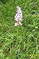 Orchid tbi (Grubigstein) (15489602758).jpg