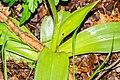 Orchis purpurea in Causse Comtal (1).jpg