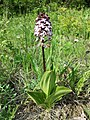 Orchis purpurea sl37.jpg