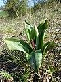 Orchis purpurea sl44.jpg