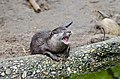 Oriental small-clawed otter.jpg