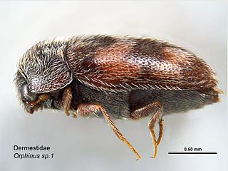 <i>Orphinus</i> genus of insects