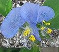 Orquídea da caatinga.jpg