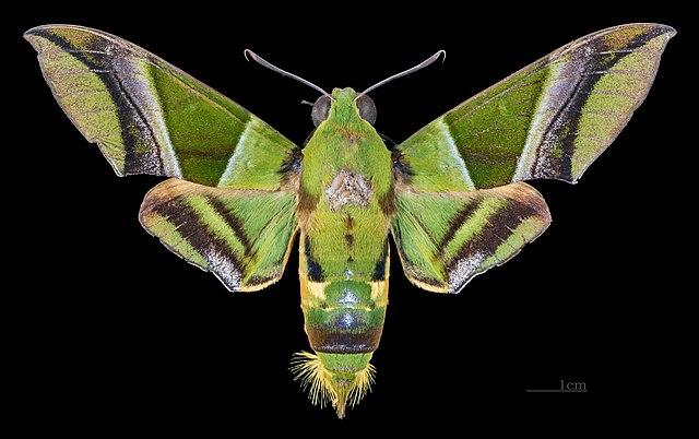Sưu tập Bộ cánh vẩy  - Page 44 640px-Oryba_kadeni_MHNT_CUT_2010_0_126_Bolivia_male_dorsal