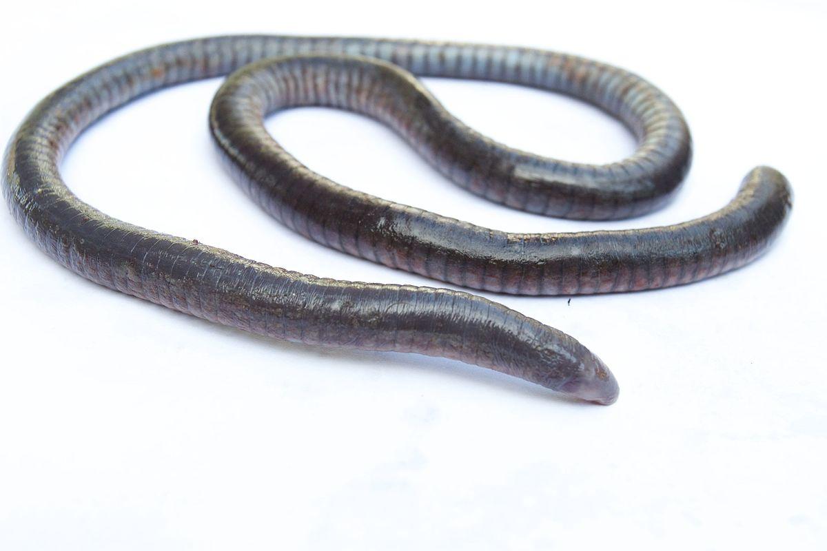 Oscaecilia hypereumeces