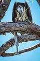 Osprey eating a Gar.jpg
