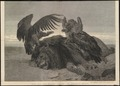 Otogyps auricularis - 1875 - Print - Iconographia Zoologica - Special Collections University of Amsterdam - UBA01 IZ18100051.tif