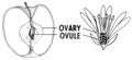 Ovary Plants (PSF).png