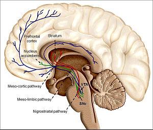Dopamine - Illustration of dopaminergic reward structures