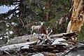 Ovis canadensis sierrae FWS 17403.jpg