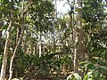 P49 Lawachara National Park, In Moulovibajar, Bangladesh.jpg