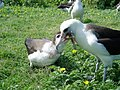 PMNM - albatross and chick (26637512233).jpg