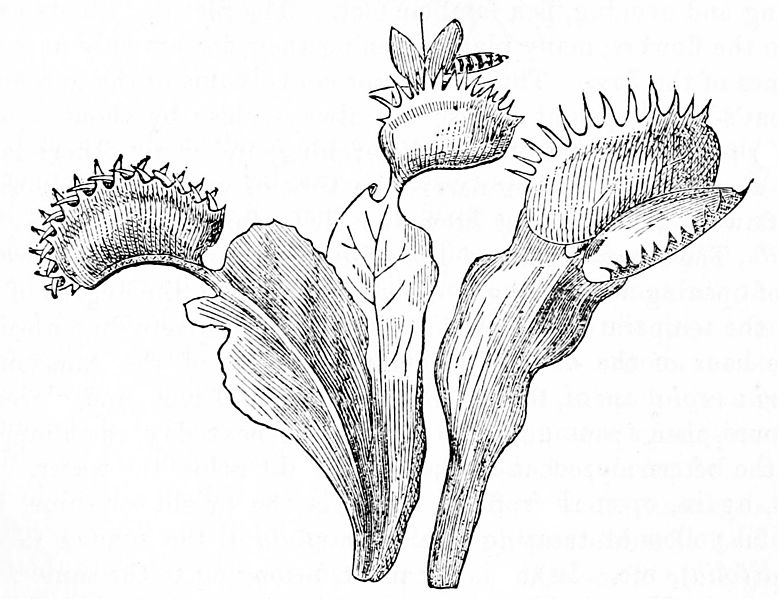 File:PSM V02 D304 Venus fly trap.jpg