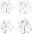 PSM V62 D056 Tracings from four palm prints showing various differences.png