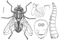 PSM V76 D217 House fly larva and structure details.png
