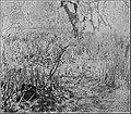 PSM V84 D308 Mangove swamp.jpg