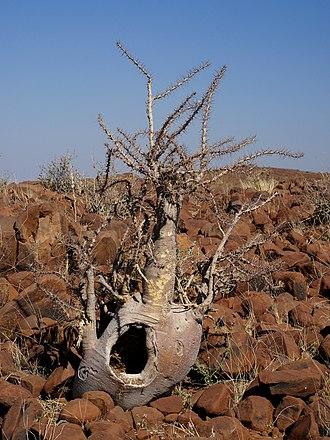Pachypodium lealii - Image: Pachypodium lealii