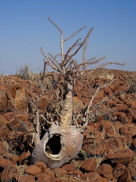 File:Pachypodium lealii.jpg