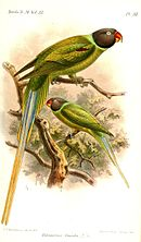 Drawing of two green parrots with dark grey head, blue neck ring, and red beaks
