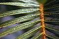 Palm Leaf With Dew (240884585).jpeg