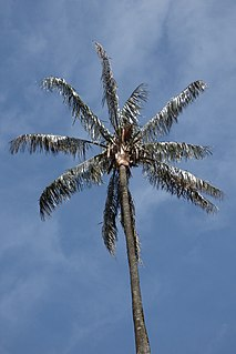 <i>Ceroxylon quindiuense</i> species of plant