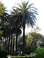 Palmeres - arbre d'interès local - Jardins de Vil·la Amèlia P1280084.jpg