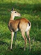 Pampas deer doe Pousada Embiara.jpg