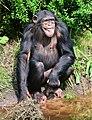 Pan troglodytes - Serengeti-Park Hodenhagen 14.jpg