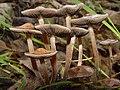 Panaeolus.subbalteatus.5.jpg