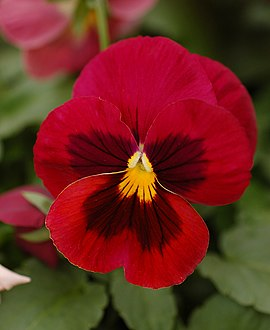 Pansy Viola x wittrockiana Red Cultivar Flower 2000px.jpg