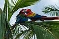 Papagei Aras (26883146990).jpg