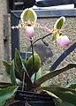 Paphiopedilum liemianum 'Warren Michael' - Longwood Gardens - DSC01204.JPG
