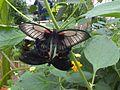 Papilio memnon 1.jpg