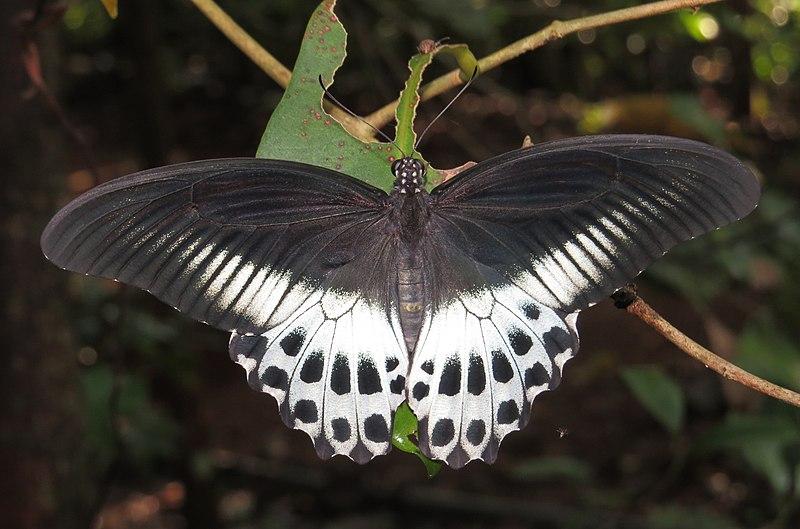 File:Papilio polymnestor – Blue Mormon 08.jpg