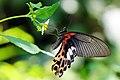 Papilio thaiwanus female 20140830.jpg