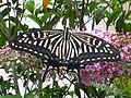 Papilio xuthus 070707.jpg