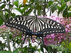 Papilio xuthus - Image: Papilio xuthus 070707