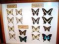 Papilionidae10.jpg
