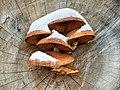 Pappel-Schüppling (Hemipholiota populnea)-20201204-RM-154715.jpg