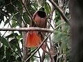 Paradisaea raggiana -Papua New Guinea-8.jpg