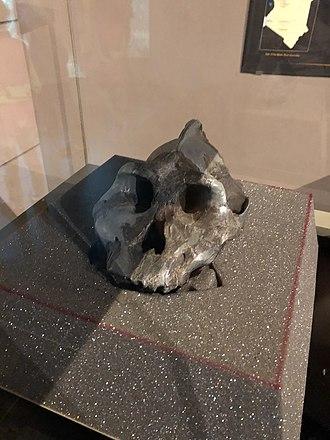Paranthropus aethiopicus - Paranthropus aethiopicus The Black Skull Kenya
