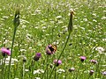 Parco naturale Tre Cime, farfalla.jpg