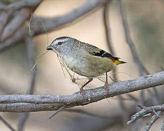 Spotted pardalote - Female with nesting material, Tasmania