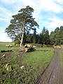 Park Wall Plantation - geograph.org.uk - 348938.jpg