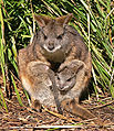 Parma wallaby crop2.jpg