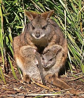 Parma wallaby Species of marsupial